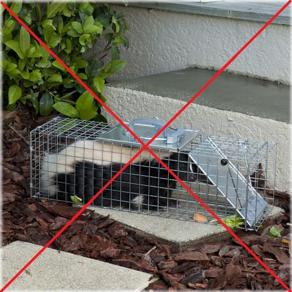 The wrong way to trap a skunk - in a trap on your own
